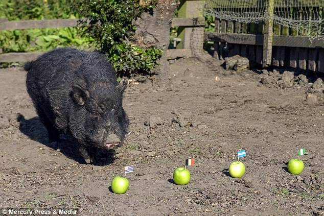 Psychic Pig Who Predicted Trump's Victory Picks Nigeria, Argentina For World Cup Semis